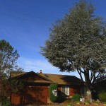 The A Residence in Santa Rosa. Beautiful Blue Atlas Cedar in front.